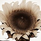 Sunflower In Sepia by Jonice