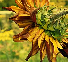 Morning Sunflower by moor2sea