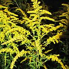 European goldenrod at night by orko