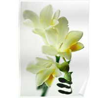 If only I could send you the scent of these Freesias Poster