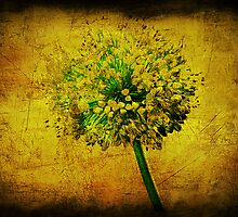 Allium. by Lynne Haselden
