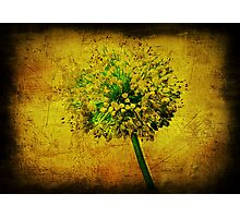 Allium. Photographic Print