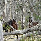 Brumbies In The Bush by louisegreen