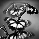 Roosting butterflies, Town Common by Dieter Tracey