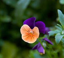 Pansies 4 by Georgia Conroy