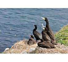 waiting for mum, cormorant chicks, Saltee Island, County Wexford, Ireland Photographic Print
