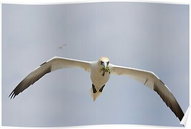 bringing nesting material, gannet in flight, Saltee Island, Ireland by Andrew Jones