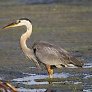 Blue Heron by Dennis Cheeseman