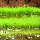 Paddy Field by Shiju Sugunan