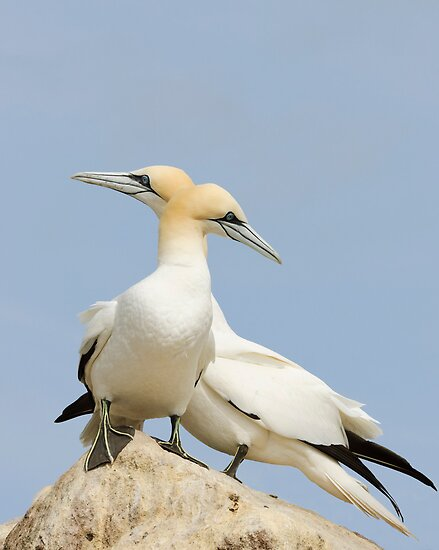 Opposite point of view, gannets, saltee Island, County Wexford, Ireland by Andrew Jones