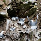 Upset in the kittiwake colony, Saltee Island, County Wexford, Ireland by Andrew Jones