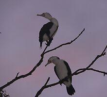 Cormorants in the tree by Chris  Widmer