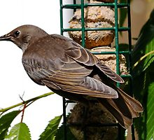 Young Starling by AnnDixon