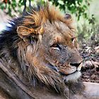 African Lion #1 by Kobus Olivier