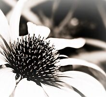 Echinacea Heart by Astrid Ewing Photography