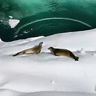 Antarctic seals by Robyn Lakeman