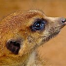 Meerkat by DebbyTownsend