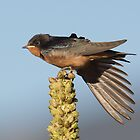 Barn Swallows by kurtbowmanphoto