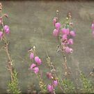 A melody of soft pink Irish Heath by steppeland