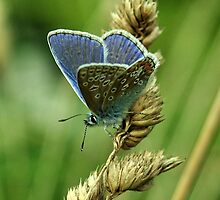Common Blue by Russell Couch