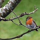 Robin on Tree Branch. by JoeTravers