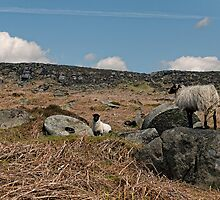 Stanage Sheep by David J Knight
