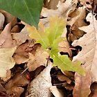 Autumn Oak by Aprille