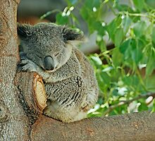 Sleeping Koala by tracilaw