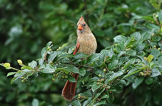 Cardinal (female) by KatMagic Photography