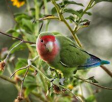 Lovely Little Lovebird  by Saija  Lehtonen