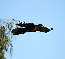 Dark Morph Red Tail In Flight  by DARRIN ALDRIDGE