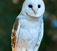 'Marion' the  Barn Owl  by Chris  Randall