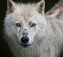 Portrait of an Arctic Wolf by Daniel  Parent
