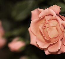 Peach Rose by Liane Pinel