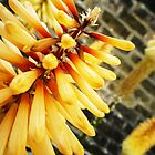 Red Hot Poker - Hall Place Gardens, Kent by twoforapound