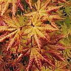Acer,in all its glory.  by Stephen J  Dowdell