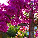 Bougainvilleas in the bright tropical sun by Bernhard Matejka