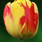 Yellow Tulip with Red Flames by 1000Flowers
