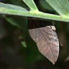 Indian Leaf butterfly trying to hide by Patrick England