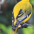 Swartkopwielewaal -  Oriolus larvatus - Black-headed Oriole  by Rina Greeff
