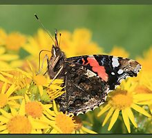 Red Admiral (4) by Rhona Anderson