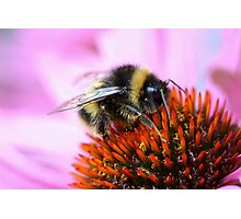 Bumblebee on a flower Photographic Print