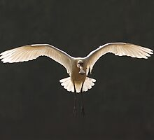 eurasian spoonbill in backlight by RAMU M