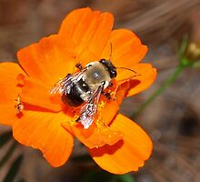 Bumblebee on bright orange flower by ♥⊱ B. Randi Bailey