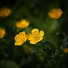 Buttercups by M.Reder Photography