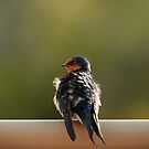 """""""Welcome Swallow"""" by Heather Thorning"""