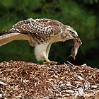 Juvenile Red-tailed Hawk with Vole by Bill McMullen