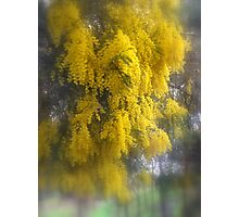 Loaded with Wattle Photographic Print