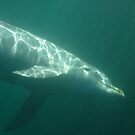 Common Bottlenose Dolphin (Tursiops truncatus) - Point Lowly Peninsula, South Australia by Dan & Emma Monceaux