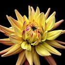 Dahlia Corona 3 by Rewards4life